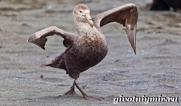 Буревестник-птица-Образ-жизни-и-среда-обитания-буревестника-5