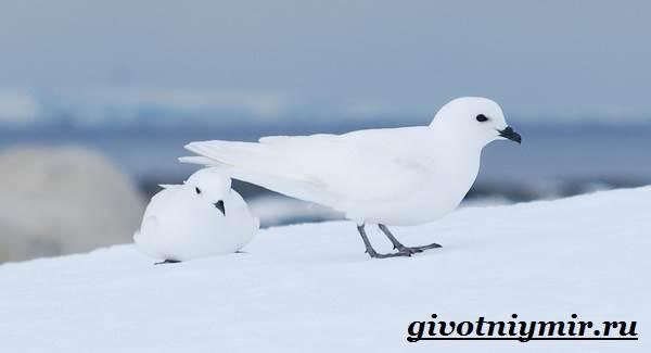 Буревестник-птица-Образ-жизни-и-среда-обитания-буревестника-6