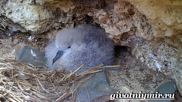 Буревестник-птица-Образ-жизни-и-среда-обитания-буревестника-8