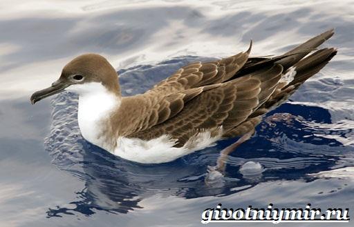 Буревестник-птица-Образ-жизни-и-среда-обитания-буревестника-9