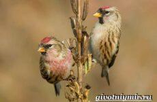 Чечетка птица. Образ жизни и среда обитания птицы чечетки