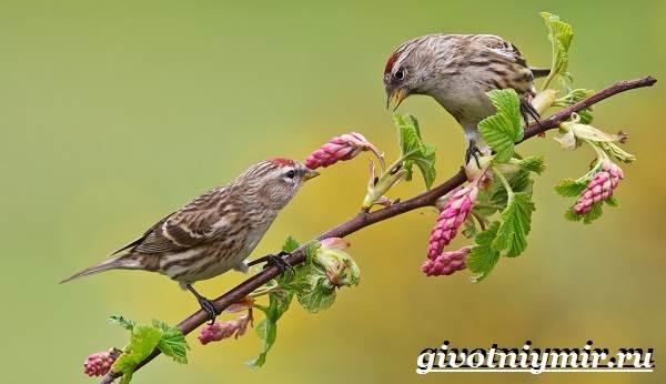 Чечетка-птица-Образ-жизни-и-среда-обитания-птицы-чечетки-3