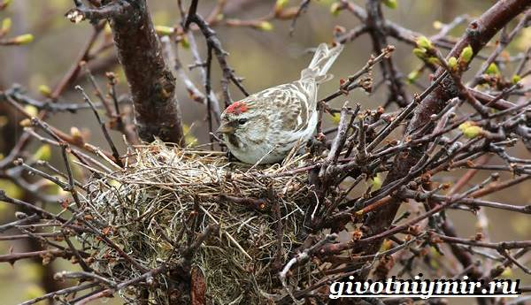 Чечетка-птица-Образ-жизни-и-среда-обитания-птицы-чечетки-4