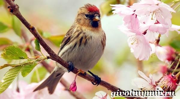 Чечетка-птица-Образ-жизни-и-среда-обитания-птицы-чечетки-6