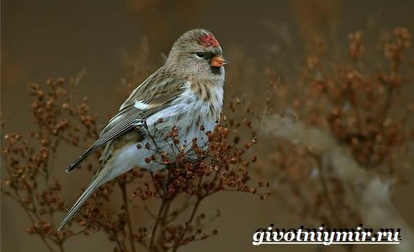 Чечетка-птица-Образ-жизни-и-среда-обитания-птицы-чечетки-7