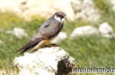 Чеглок птица. Образ жизни и среда обитания птицы чеглок
