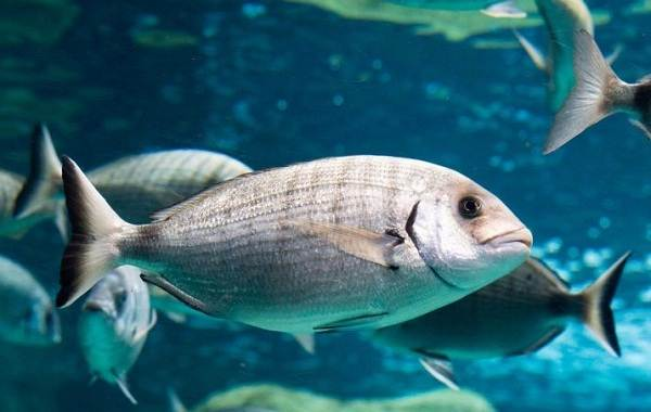Дорадо-рыба-Образ-жизни-и-среда-обитания-рыбы-дорадо-11