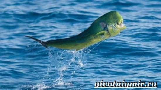 Дорадо-рыба-Образ-жизни-и-среда-обитания-рыбы-дорадо-3