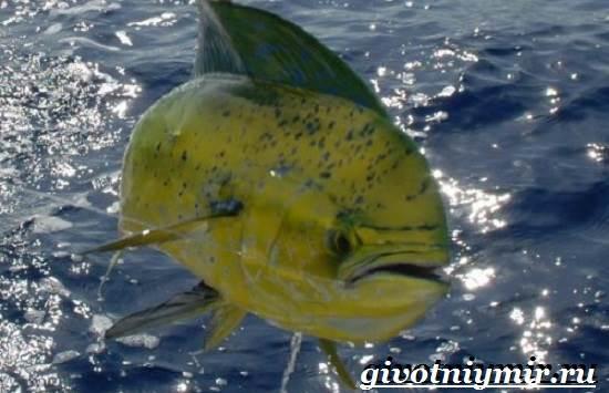 Дорадо-рыба-Образ-жизни-и-среда-обитания-рыбы-дорадо-4