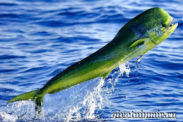 Дорадо-рыба-Образ-жизни-и-среда-обитания-рыбы-дорадо-5
