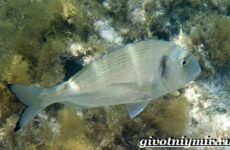 Дорадо рыба. Образ жизни и среда обитания рыбы дорадо