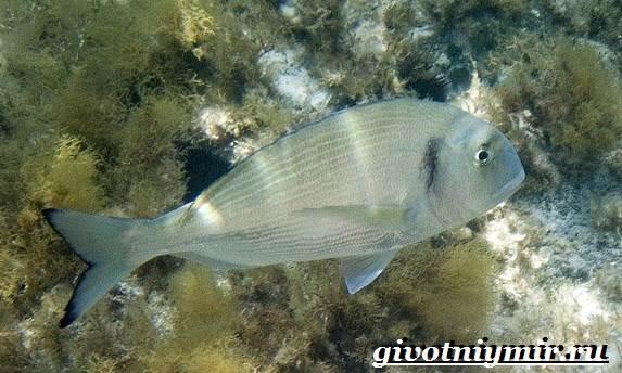 Дорадо-рыба-Образ-жизни-и-среда-обитания-рыбы-дорадо-6