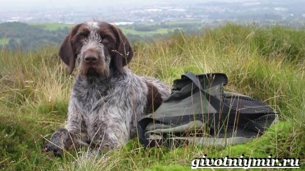 Дратхаар-собака-Описание-особенности-уход-и-цена-дратхаара-4