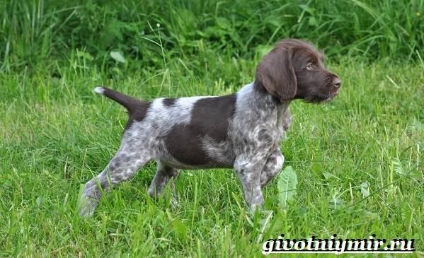 Дратхаар-собака-Описание-особенности-уход-и-цена-дратхаара-5