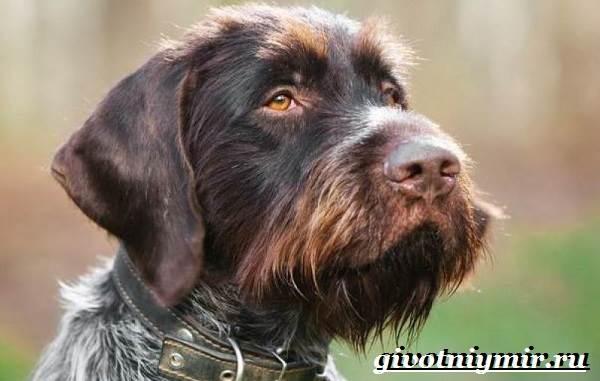 Дратхаар-собака-Описание-особенности-уход-и-цена-дратхаара-6