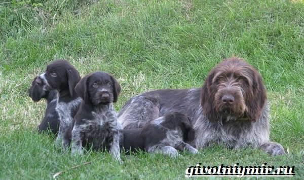 Дратхаар-собака-Описание-особенности-уход-и-цена-дратхаара-7