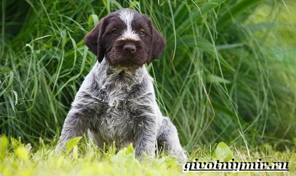 Дратхаар-собака-Описание-особенности-уход-и-цена-дратхаара-9
