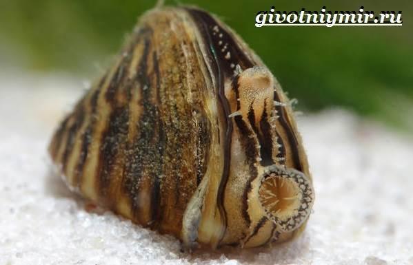 Дрейссена-улитка-Образ-жизни-и-среда-обитания-улитки-дрейссены-1