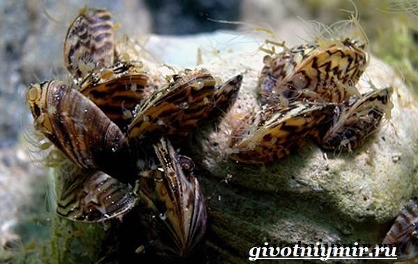 Дрейссена-улитка-Образ-жизни-и-среда-обитания-улитки-дрейссены-4