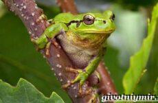 Древесная лягушка. Образ жизни и среда обитания древесной лягушки