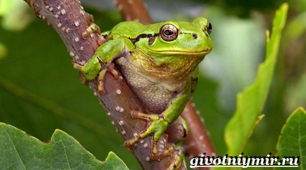 Древесная-лягушка-Образ-жизни-и-среда-обитания-древесной-лягушки-1