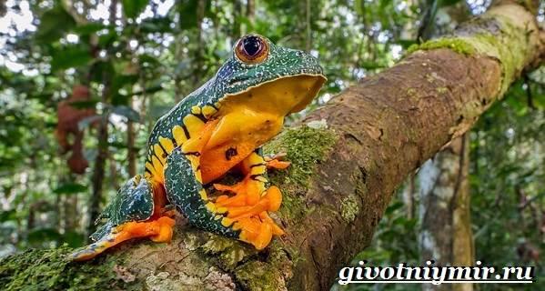 Древесная-лягушка-Образ-жизни-и-среда-обитания-древесной-лягушки-2