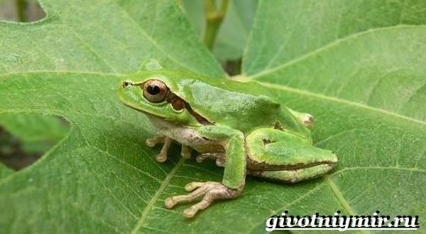Древесная-лягушка-Образ-жизни-и-среда-обитания-древесной-лягушки-3
