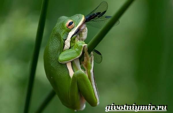 Древесная-лягушка-Образ-жизни-и-среда-обитания-древесной-лягушки-4