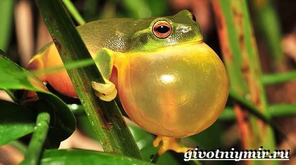 Древесная-лягушка-Образ-жизни-и-среда-обитания-древесной-лягушки-5