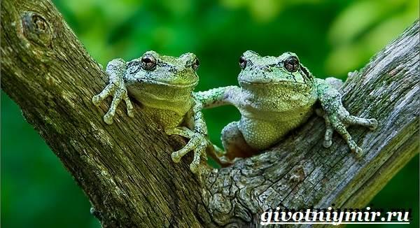Древесная-лягушка-Образ-жизни-и-среда-обитания-древесной-лягушки-6