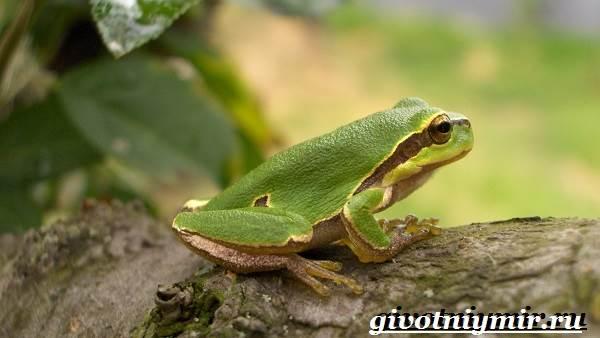 Древесная-лягушка-Образ-жизни-и-среда-обитания-древесной-лягушки-7