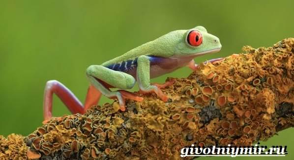 Древесная-лягушка-Образ-жизни-и-среда-обитания-древесной-лягушки-8