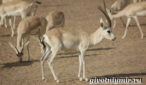Джейран-животное-Образ-жизни-и-среда-обитания-джейрана-3