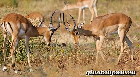 Джейран-животное-Образ-жизни-и-среда-обитания-джейрана-5