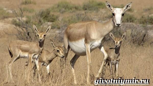 Джейран-животное-Образ-жизни-и-среда-обитания-джейрана-6