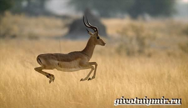 Джейран-животное-Образ-жизни-и-среда-обитания-джейрана-7