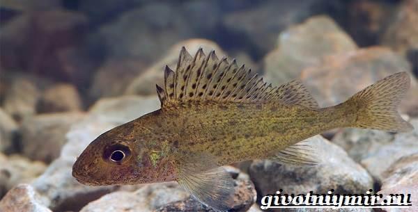 Ерш-рыба-Образ-жизни-и-среда-обитания-рыбы-ёрш-1