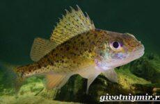 Ерш рыба. Образ жизни и среда обитания рыбы ёрш