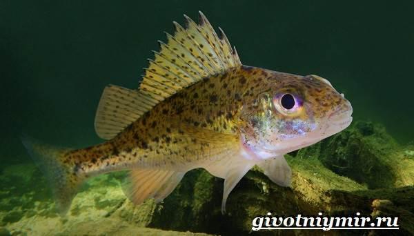 Ерш-рыба-Образ-жизни-и-среда-обитания-рыбы-ёрш-2