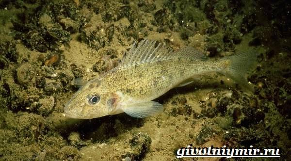 Ерш-рыба-Образ-жизни-и-среда-обитания-рыбы-ёрш-5