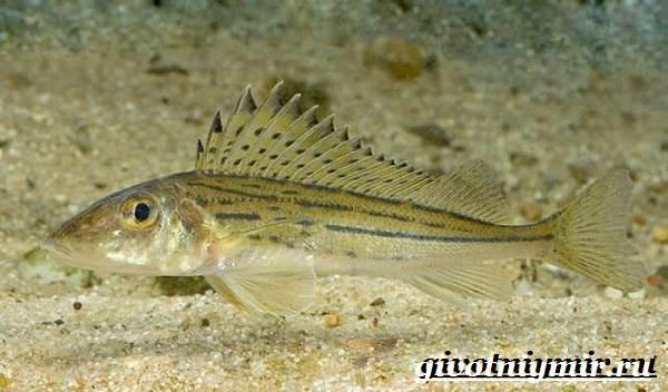 Ерш-рыба-Образ-жизни-и-среда-обитания-рыбы-ёрш-7