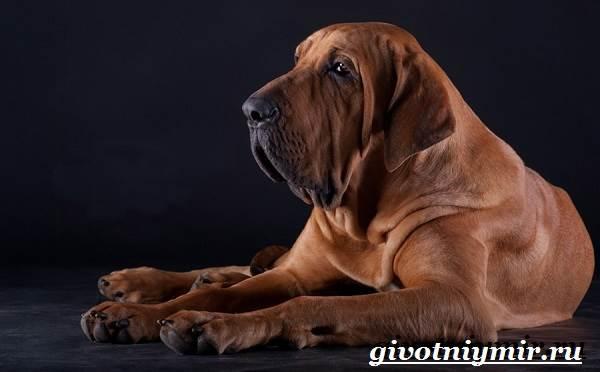 Фила-бразилейро-собака-Описание-особенности-уход-и-цена-фила-бразилейро-1