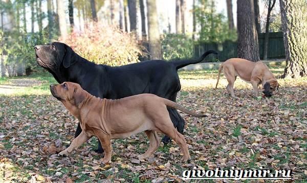 Фила-бразилейро-собака-Описание-особенности-уход-и-цена-фила-бразилейро-4