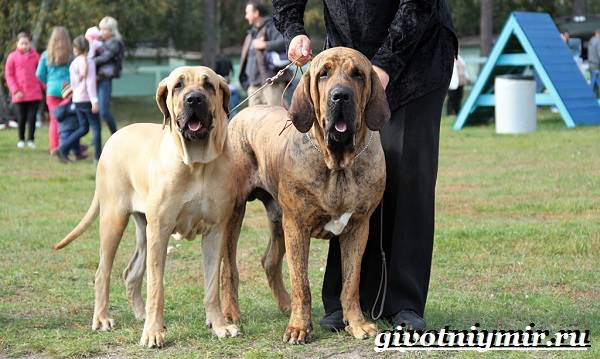 Фила-бразилейро-собака-Описание-особенности-уход-и-цена-фила-бразилейро-5