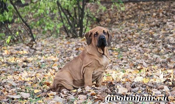 Фила-бразилейро-собака-Описание-особенности-уход-и-цена-фила-бразилейро-6