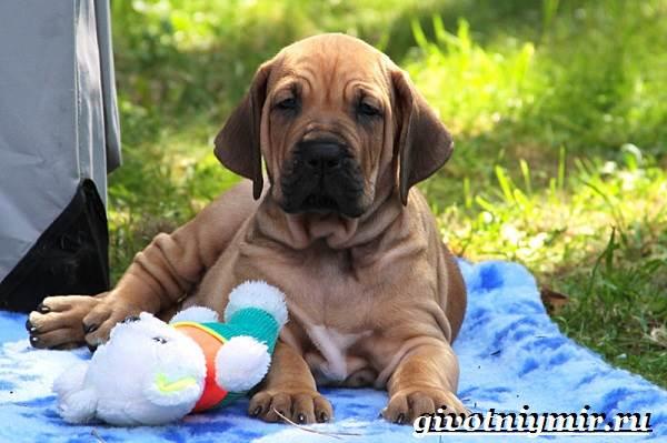 Фила-бразилейро-собака-Описание-особенности-уход-и-цена-фила-бразилейро-7