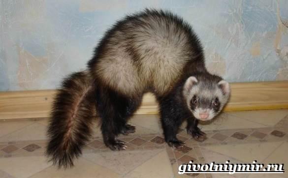 Фретка-хорек-Образ-жизни-и-среда-обитания-фретки-5