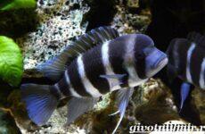Фронтоза рыба. Описание, особенности, содержание и цена фронтозы