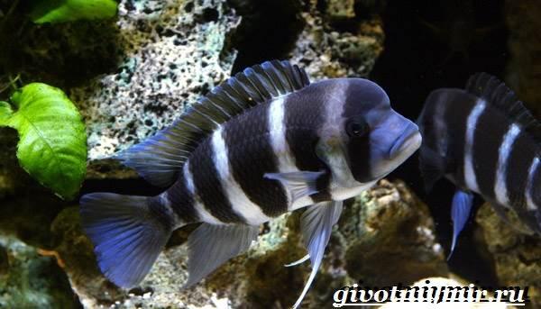 Фронтоза-рыба-Описание-особенности-содержание-и-цена-фронтозы-1