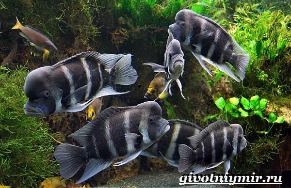 Фронтоза-рыба-Описание-особенности-содержание-и-цена-фронтозы-2
